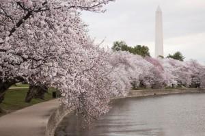 cherry blossom_15x10